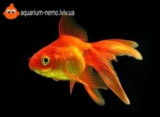 Золота рибка асорті (мала) - Carassius Auratus