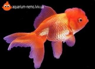 Оранда Червона - Carassius Auratus