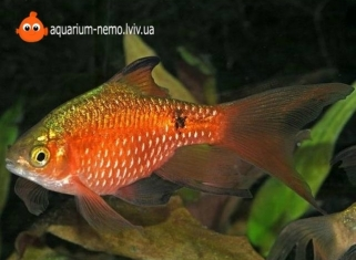 Барбус золотий - Pethia Conchonius